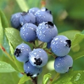 12 prestations de santé de bleuets