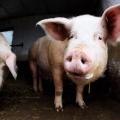 400-Pound cochon sauvé par la police de Detroit