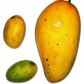 Mangue africaine, ingrédient puissant pour la perte de poids