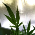 Les enfants de moins de six ans sont exposés à la marijuana à travers nous