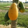 Les prestations de santé de la papaye