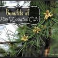 Avantages naturels d'huiles essentielles de pin et de pins