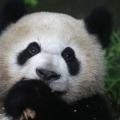 Le plus ancien panda géant détient désormais deux records du monde Guinness