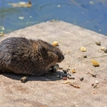 Les scientifiques ont découvert de nouveaux virus chez des rats ny