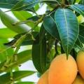 10 Amazing avantages et les utilisations de feuilles de mangue