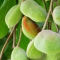 10 meilleurs avantages de la prune de Kakadu pour la peau, des cheveux et santé
