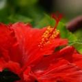 Avantages surprenants de prestations d'hibiscus pour la santé