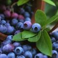 Top 10 des avantages pour la santé et la beauté des baies bleues